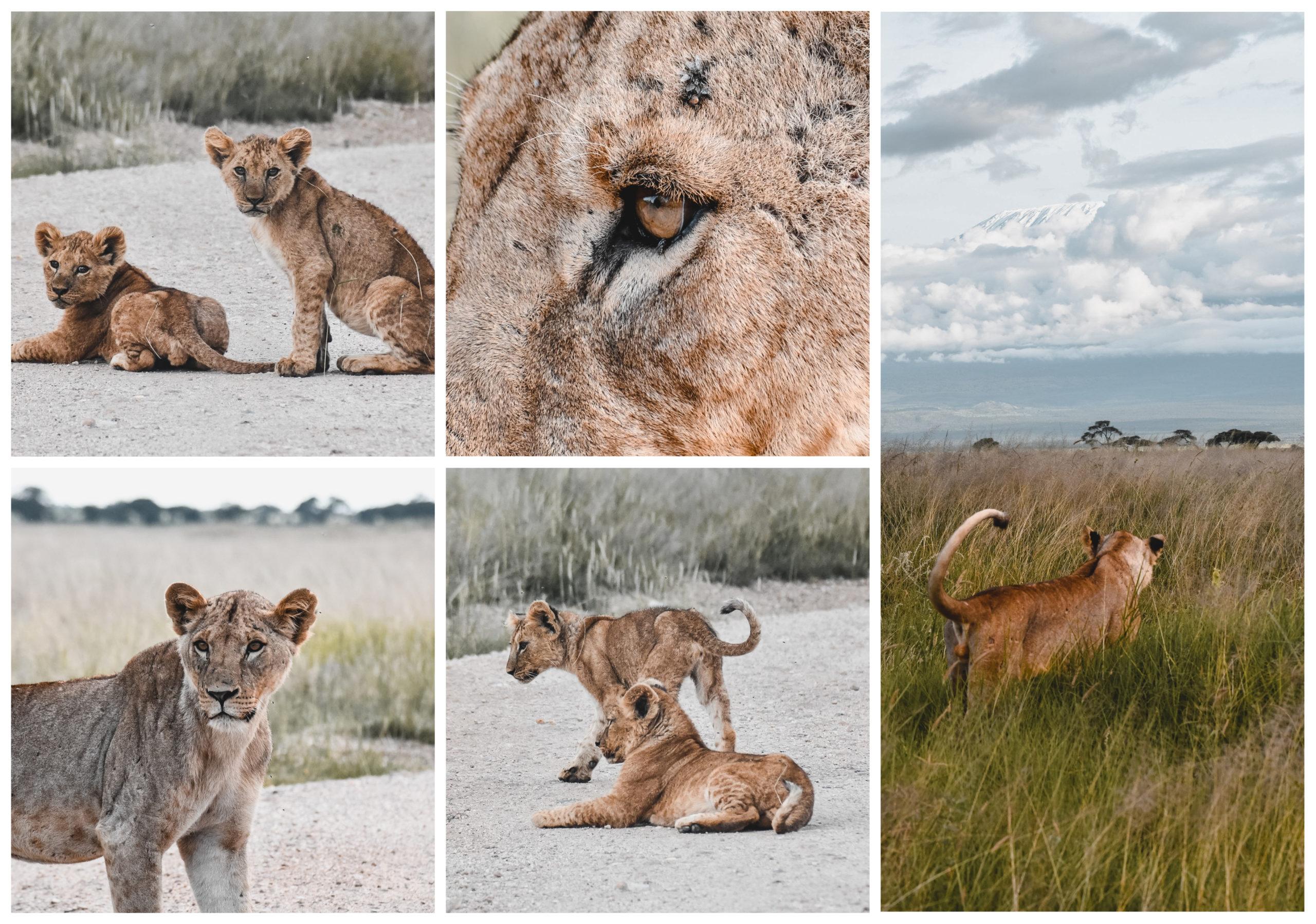 safari amboseli kenya lion