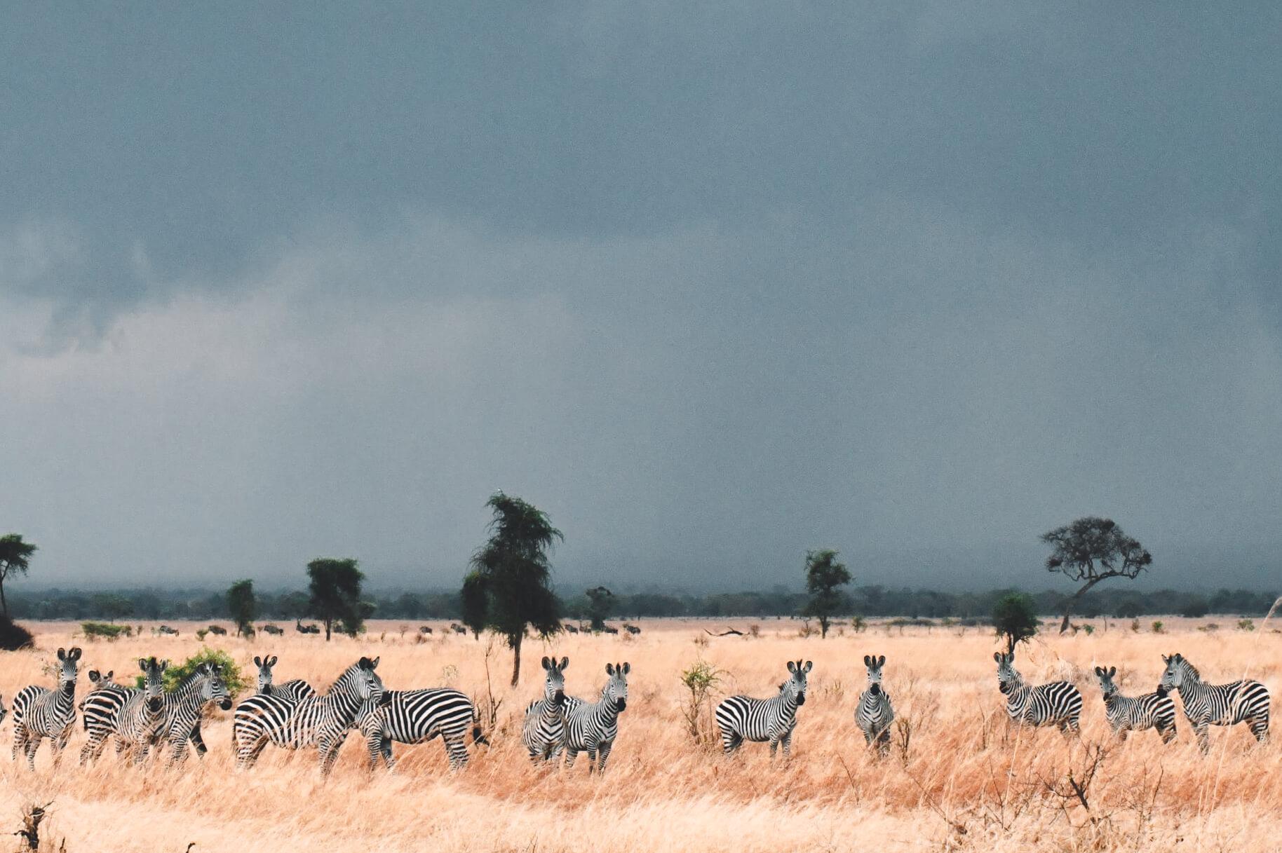 tanzanie safari mikumi zèbre
