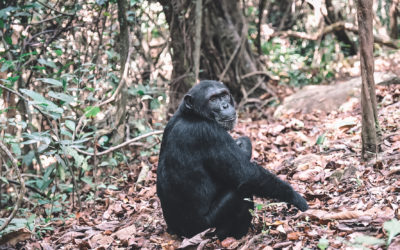 Visiter le parc de Gombe en Tanzanie, à la rencontre des chimpanzés
