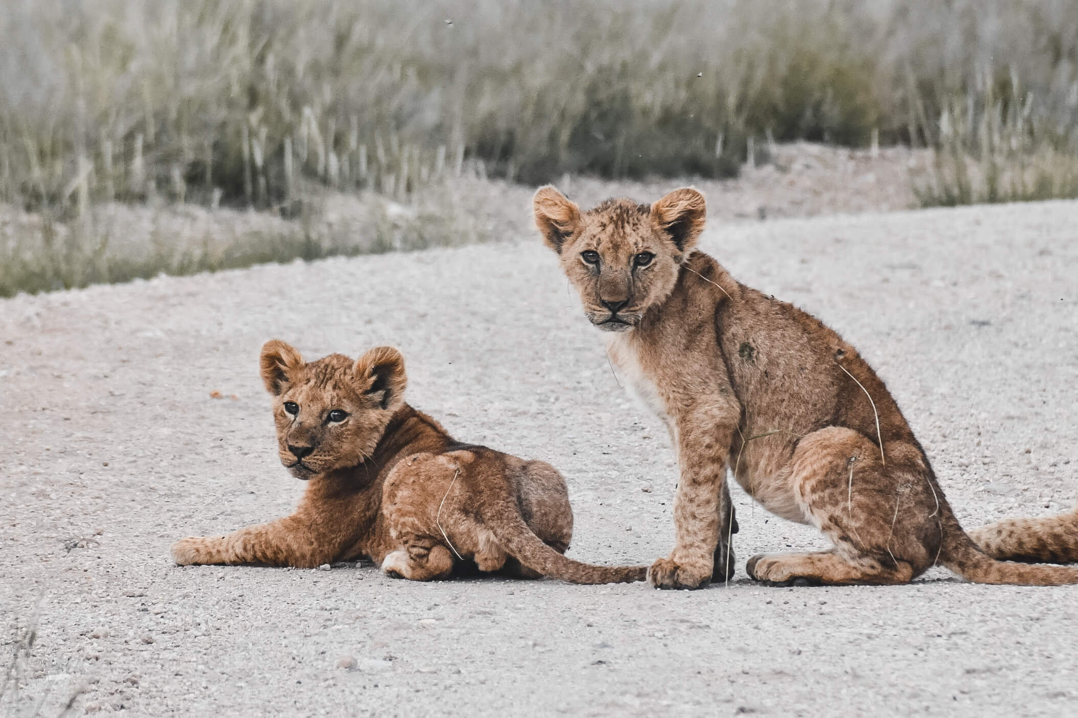 lion safari kenya amboseli